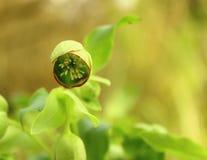 Fiore dell'elleboro verde Fotografie Stock