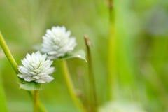 Fiore dell'erba Fotografie Stock