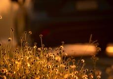 Fiore dell'erba accanto alla strada con luce solare dorata Fondo per speranza ed incoraggiamento Fiore dell'erba ed automobile va immagini stock