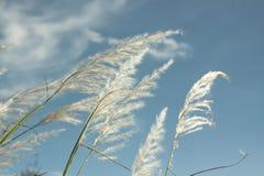 Fiore dell'erba all'angolo basso del cielo blu Immagine Stock Libera da Diritti