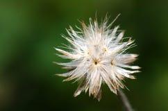 Fiore dell'erba asciutta Fotografie Stock