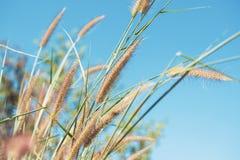 Fiore dell'erba con cielo blu Immagine Stock