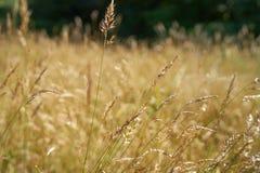 Fiore dell'erba dell'oro Fotografia Stock Libera da Diritti