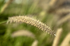 Macro dell'erba di coda di volpe Immagine Stock Libera da Diritti