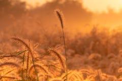 Fiore dell'erba di mattina ad alba con bello sole dorato Giacimento di fiore in rurale Fondo arancio del prato selvaggio fotografie stock