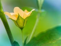 Fiore dell'erba medica di Paddy's Immagini Stock Libere da Diritti