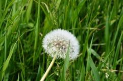 Fiore dell'erba su Appenzell Fotografia Stock Libera da Diritti