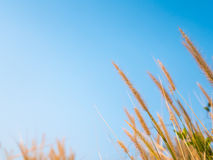 Fiore dell'erba su tempo di tramonto Immagine Stock
