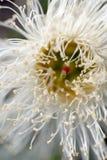 Fiore dell'eucalyptus immagini stock