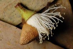 Fiore dell'eucalyptus. Fotografia Stock