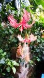 Fiore dell'ibisco immagini stock libere da diritti
