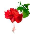 Fiore dell'ibisco Immagini Stock