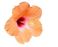 Fiore dell'ibisco Fotografie Stock