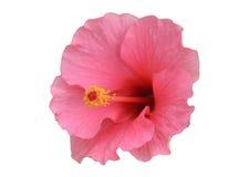 Fiore dell'ibisco Immagine Stock Libera da Diritti