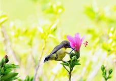 Fiore dell'ibisco con dal il sunbird sostenuto da oliva fotografia stock libera da diritti