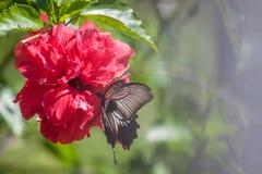 Fiore dell'ibisco con la farfalla Fotografia Stock