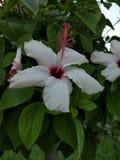 Fiore dell'ibisco a Corfù Immagini Stock Libere da Diritti