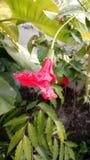 Fiore dell'ibisco nel giardino immagini stock