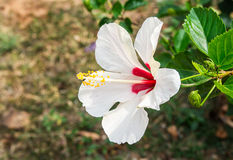 Fiore dell'ibisco nel giardino Fotografie Stock