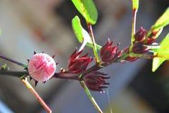 Fiore dell'ibisco o fiore di rosella Fotografie Stock Libere da Diritti