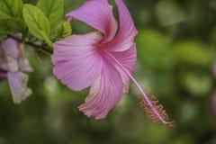 Fiore dell'ibisco in piena fioritura fotografia stock