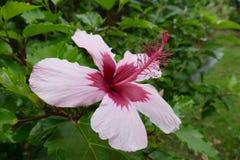 Fiore dell'ibisco sulle Hawai Immagine Stock
