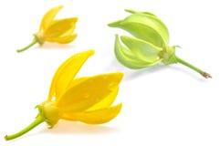 Fiore dell'ilang-ilang Immagine Stock Libera da Diritti
