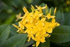 Fiore dell'India Occidentale del gelsomino Immagini Stock Libere da Diritti