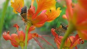 Fiore dell'insetto di fuoco Fotografie Stock Libere da Diritti