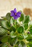 Fiore dell'interno, viole africane fotografie stock