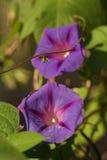 Fiore dell'ipomoea Fotografie Stock Libere da Diritti