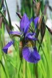 Fiore dell'iride Immagine Stock Libera da Diritti