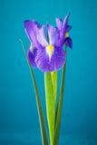 Fiore dell'iride Fotografia Stock
