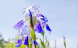 Fiore dell'iride, bello fondo Fotografie Stock