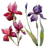 Fiore dell'iride del Wildflower in uno stile dell'acquerello isolato Immagini Stock