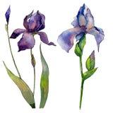 Fiore dell'iride del Wildflower in uno stile dell'acquerello isolato Fotografie Stock