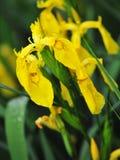 Fiore dell'iride gialla fotografia stock