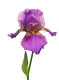 Fiore dell'iride isolato su bianco Fotografia Stock