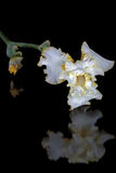 Fiore dell'iride, lat. Iride, isolata sugli ambiti di provenienza neri Immagini Stock