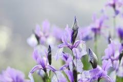 Fiore dell'iride vicino all'acqua Fotografia Stock