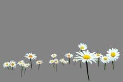 Fiore dell'isolato Fotografia Stock