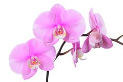 Fiore dell'orchidea Fotografie Stock Libere da Diritti