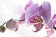 Fiore dell'orchidea immagine stock libera da diritti