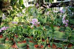 Fiore dell'orchidea del giardino Fotografia Stock