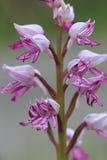 Fiore dell'orchidea della scimmia Immagini Stock