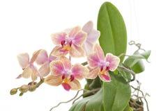 Fiore dell'orchidea di fioritura di phalaenopsis Fotografia Stock Libera da Diritti
