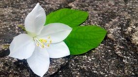 fiore dell'orchidea di neve Immagine Stock