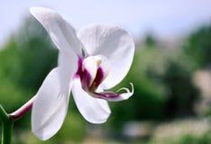 Fiore dell'orchidea di phalaenopsis Immagini Stock