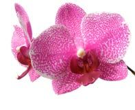 Fiore dell'orchidea isolato su bianco Fotografie Stock Libere da Diritti