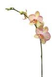 Fiore dell'orchidea, isolato su bianco fotografia stock libera da diritti